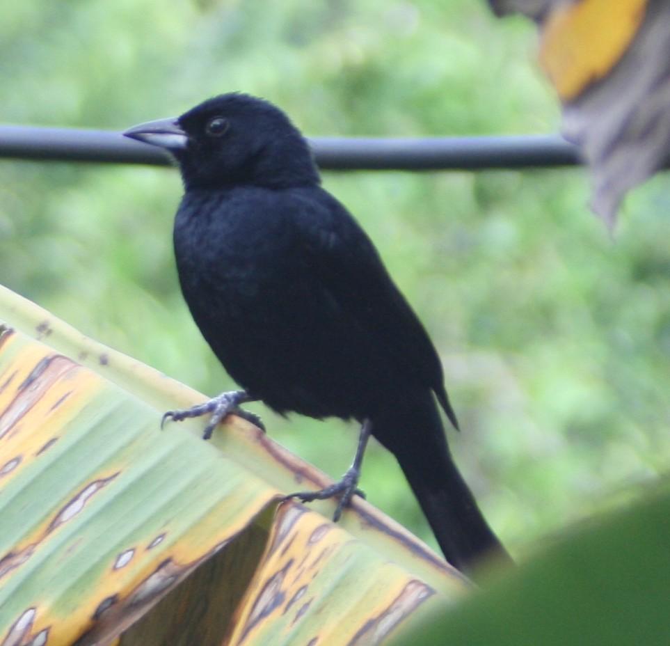 Jakarinitangara