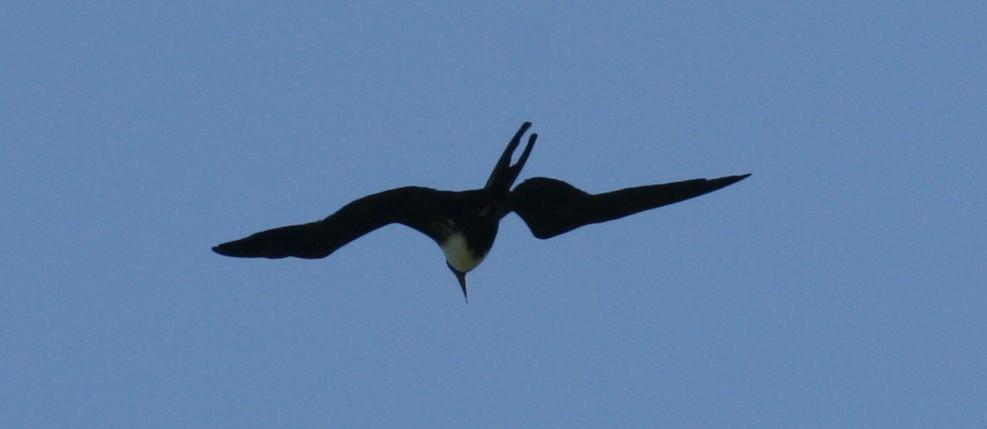 Praktfregattfågel