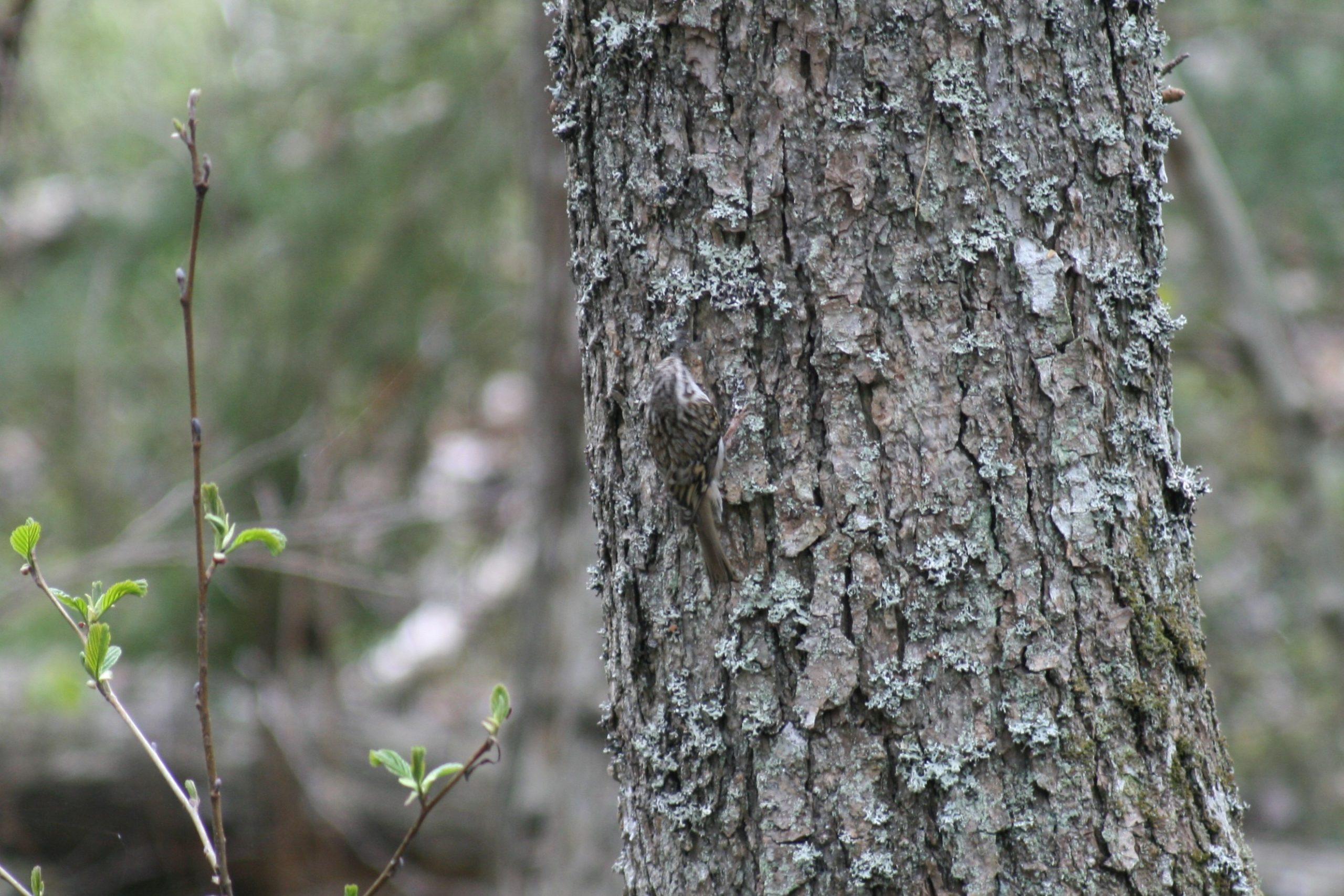 Trädkrypare